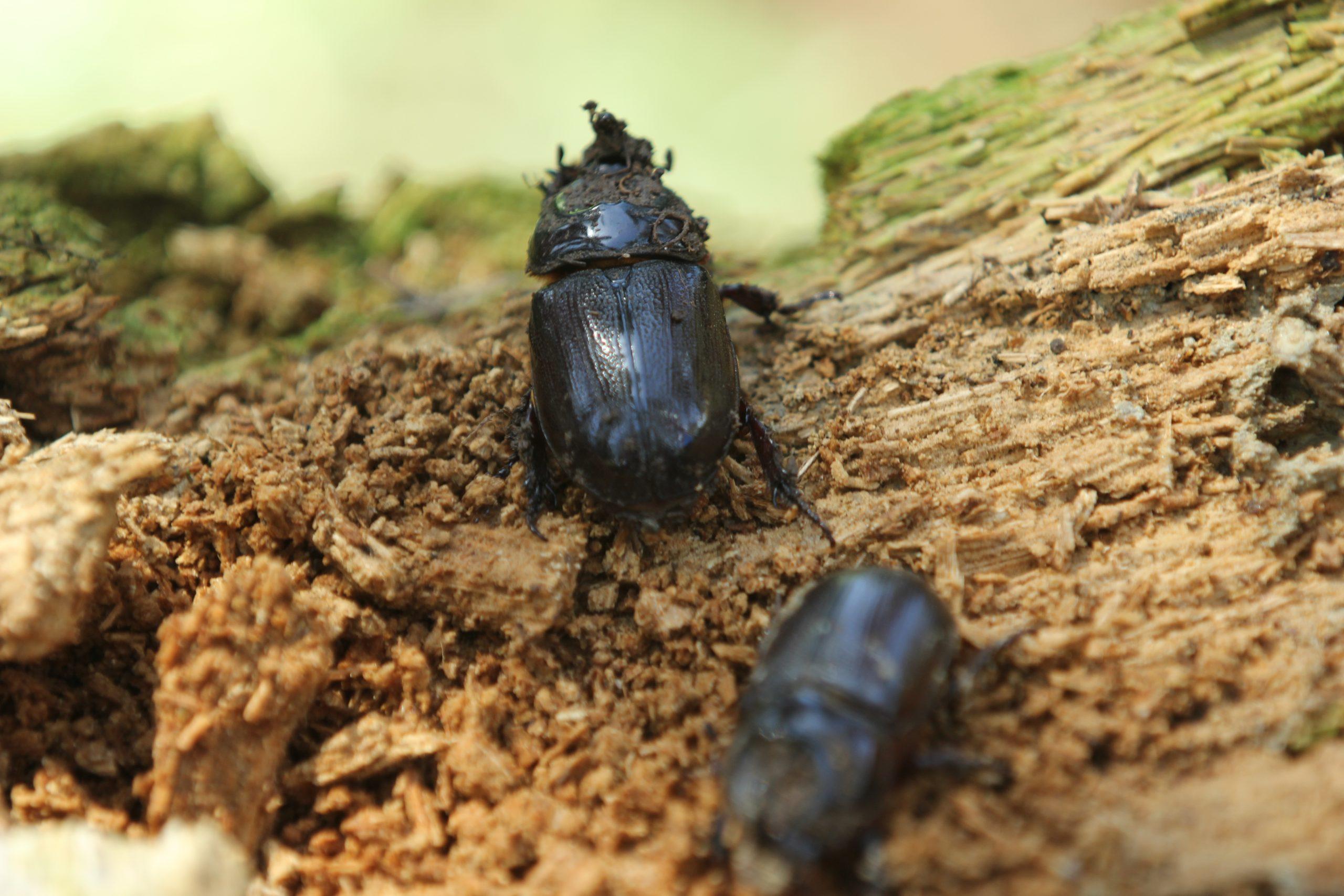 Pengendalian Kumbang Tanduk Gunakan Beragam Teknik - Majalah Sawit Indonesia